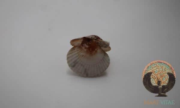 Mini Coquille Saint Jacques entière et naturelle - CSJE Mini - Maât Vitae