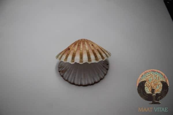 Coquille Saint Jacques entière et naturelle - CSJE4 - Maât Vitae