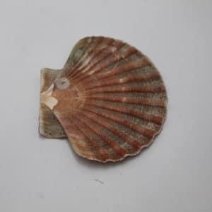 Coquilles Saint-Jacques plates naturelles
