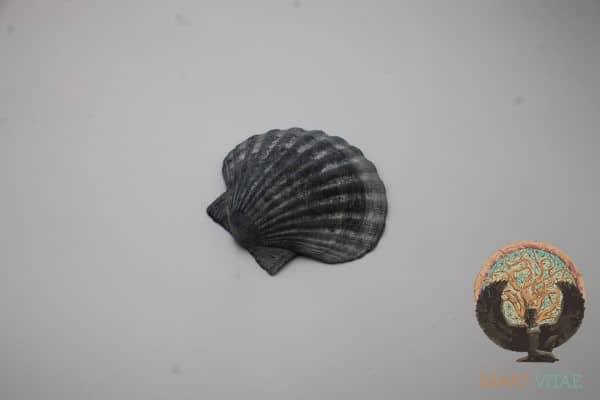 Coquille Saint-Jacques Noire Bretagne - CSJN3 -Maât Vitae