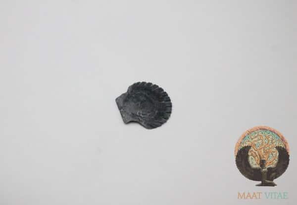 Mini-Coquille Saint-Jacques Noire Bretagne - Maât Vitae