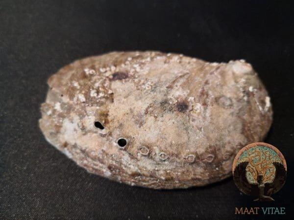 Oreille de la Mer - Ormeau Bretagne - Maât Vitae