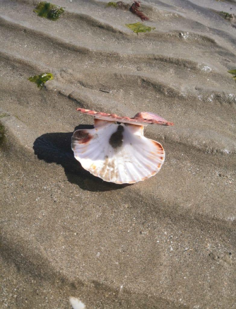 Coquille Saint-Jacques à la plage - Maât Vitae
